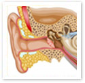 Hearing : Medical Illustration