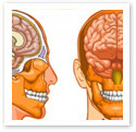 The human brain : Medical Illustration