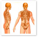 Skeleton Torso : Medical Illustration